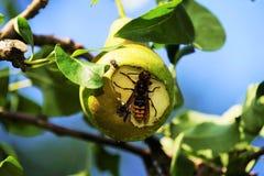 Шершень в грушевом дерев дереве стоковые фотографии rf