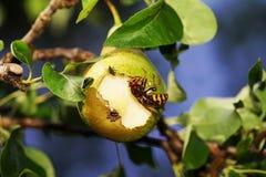 Шершень в грушевом дерев дереве стоковое фото rf