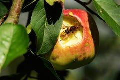 Шершень в яблоне стоковое фото rf