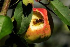 Шершень в яблоне стоковая фотография rf