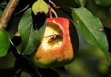 Шершень в яблоне стоковое фото