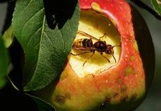 Шершень в яблоне стоковые изображения