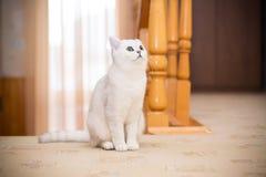 Шиншилла красивой молодой породы кота шотландская прямо стоковое изображение rf