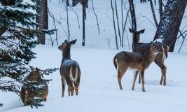 Шторм снега бело-замкнул оленей на дороге стоковое фото