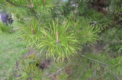 Ёлка. Fir branch with needles and cones Stock Photography