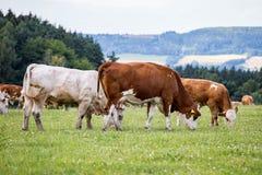 Табун коров на поле зеленого цвета лета стоковые изображения