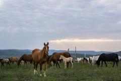 Табун лошадей в заходе солнца стоковые изображения