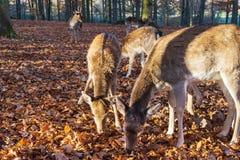 Табун оленей в осеннем лесе стоковые фотографии rf