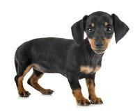 Такса щенка миниатюрная стоковое изображение rf