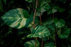 Темные листья зеленого цвета изображения, предпосылка лист плюща Тропические экзотические лист для картины стиля Гаваи обоев винт стоковое фото rf