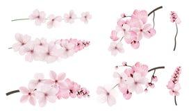 Темный и светлый - розовые цветки Сакуры бесплатная иллюстрация