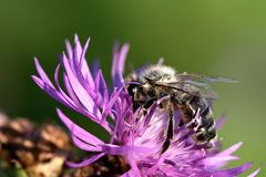 Темное опыление пчелы цветка стоковая фотография