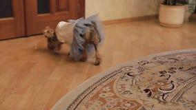 Терьер собаки в смешном платье акции видеоматериалы