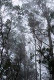 Туманный лес эвкалипта, парк San Pedro Valley County, область San Francisco Bay, Калифорния стоковые фото