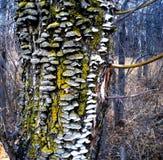 Траметес разноцветный Trametes versicolor Stock Photo