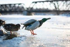 Трясти утки великолепной кряквы мужской воды от своих пер на льде в красивом свете захода солнца зимы стоковые изображения