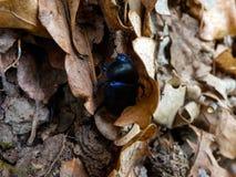 Трудный armored жук между некоторыми листьями стоковые изображения rf