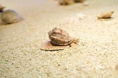 Тропическая раковина ‹â€ ‹â€ моря лежа на чистом желтом песке стоковое изображение rf