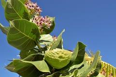Тропический Milkweed член уроженца Asclepiadaceae семьи milkweed к Вест-Инди, Южной Америке, Центральной Америке или стоковое фото rf