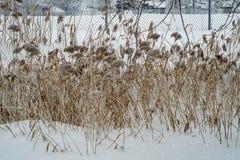 Тростники в снеге в парке стоковое изображение rf