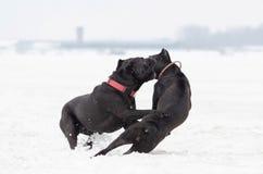 Тросточка Corso Игра собак друг с другом стоковые изображения rf