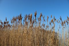 Тросточки с голубым небом стоковое изображение rf