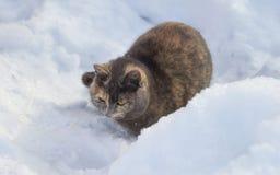 Тortoiseshell cat lies on the snow Stock Images