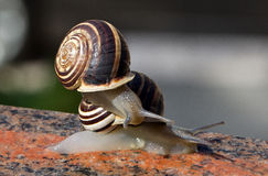 Тwo snails. Two snails crawling slowly along the window sill royalty free stock photography