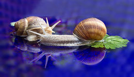 Тwo snails. Two snails crawling slowly on the table stock photo