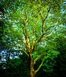 Фантазия смотря дерево с ветвями и зелеными листьями стоковые изображения rf