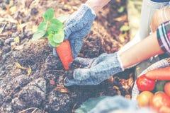 Фермер женщин аранжирует вырасти carrrot в задворк Молодые женщины растут органические овощи стоковые фотографии rf