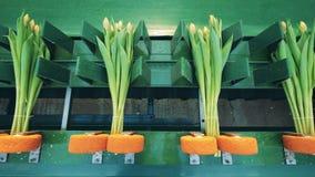 Фиксированные и связанные вверх тюльпаны на механическом поясе Индустрия цветков, продукция цветков сток-видео