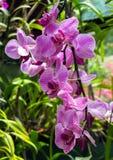 Фиолетовая орхидея в саде стоковая фотография rf