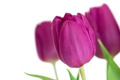 Фиолетовые тюльпаны на белой предпосылке стоковая фотография
