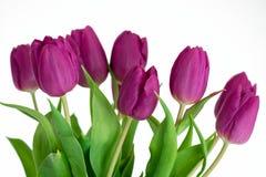 Фиолетовые тюльпаны на белой предпосылке стоковые изображения rf