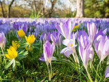 Фиолетовые цветки на флоре в Кёльне, Германии, первые цвести заводы весной стоковое изображение
