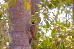 Фликер Campo, Colaptes Campestris, вид птицы в семье woodpecker, Pocone, Pantanal, Mato Grosso, Бразилии стоковые фото
