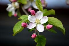Фото засаживая запаса сада белой розовой весны дерева цветеня цветения Яблока садовничая стоковое изображение