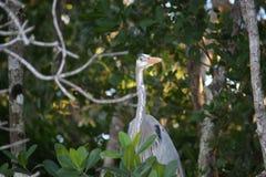 Цапля большой сини в болотистых низменностях Флориды стоковая фотография rf