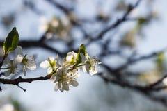 Цвести весны естественный деревьев в теплой солнечной погоде стоковые фотографии rf