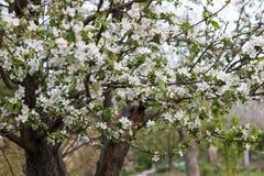 Цвести весны естественный деревьев в теплой солнечной погоде стоковые фото