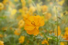 цвести красивый желтый космос в саде стоковые фотографии rf