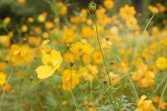 цвести красивый желтый космос в саде стоковое изображение