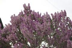 Цвести пурпурные сирени весной Селективный мягкий фокус, малая глубина поля Неясное изображение, предпосылка весны стоковые фото