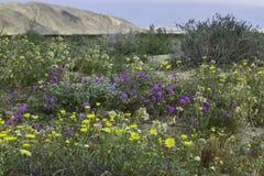 Цветене Anza Borrego супер стоковое изображение rf