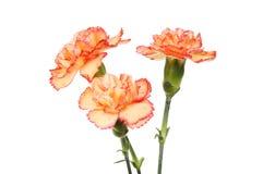 3 цветка гвоздики брызг стоковая фотография