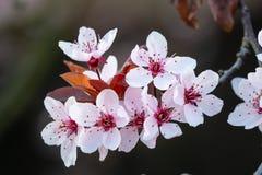 Цветки вишневого цвета на ветви весной стоковое фото rf