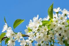 Цветки вишневого цвета на ветви стоковые изображения rf