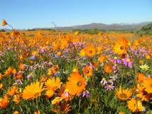 Цветки в пустыне Namaqualand в Южной Африке стоковое изображение