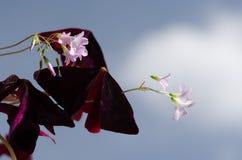 Цветки и листья triangularis Oxalis стоковое фото rf